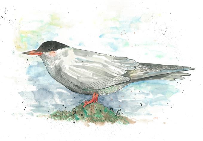'Arctic Tern'Original £150, (A4 print with mount £10)