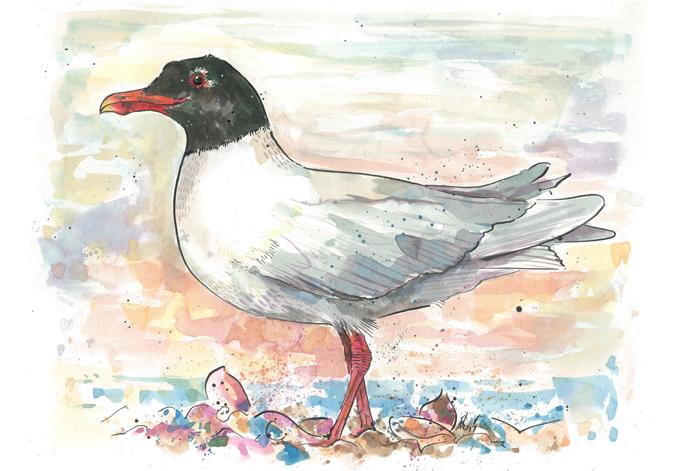 'Meditteranean Gull'Original £150, (A4 print with mount £10)
